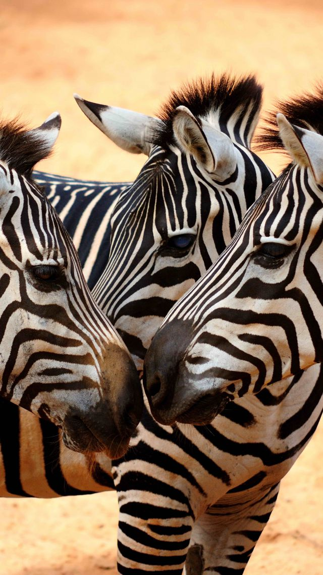 Zebra, couple, cute animals (vertical)