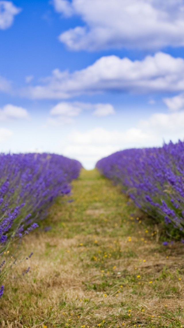 lavender, 5k, 4k wallpaper, 8k, field, flowers, sky, clouds (vertical)