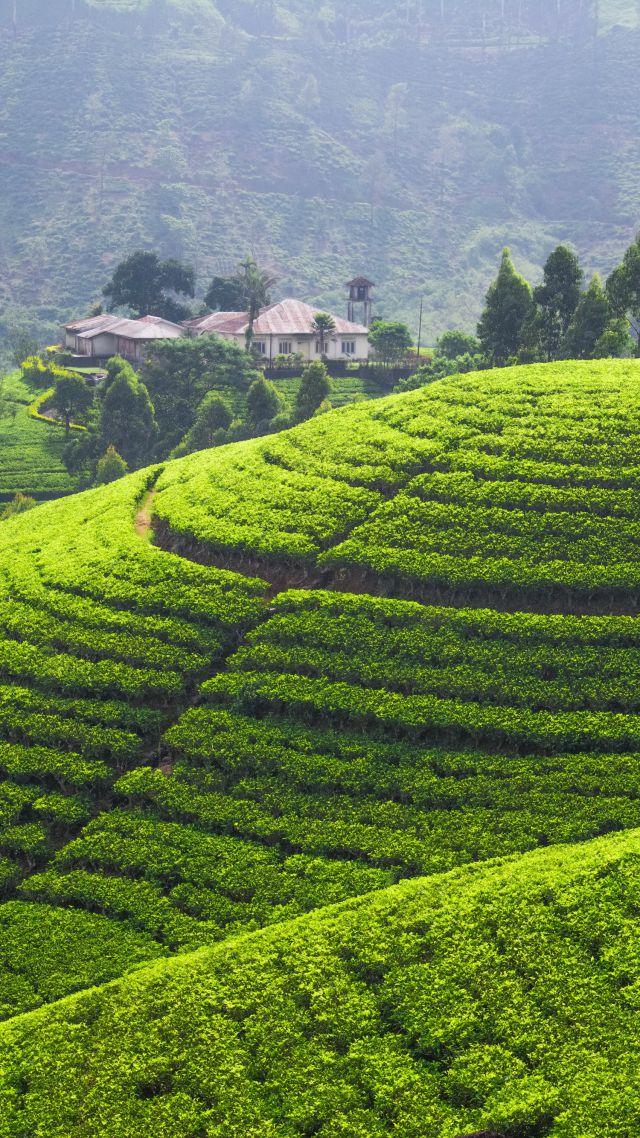 Wallpaper Tea Plantation 5k 4k Wallpaper Hills Trees