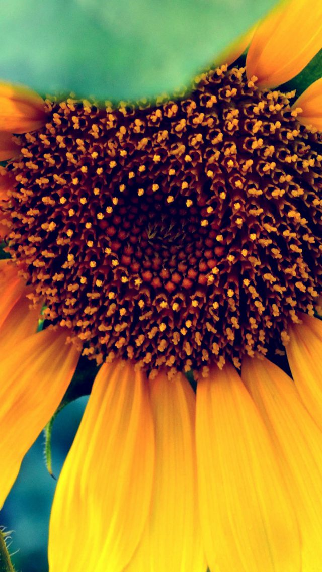 Sunflower, HD, 4k wallpaper, macro, flowers, yellow (vertical)