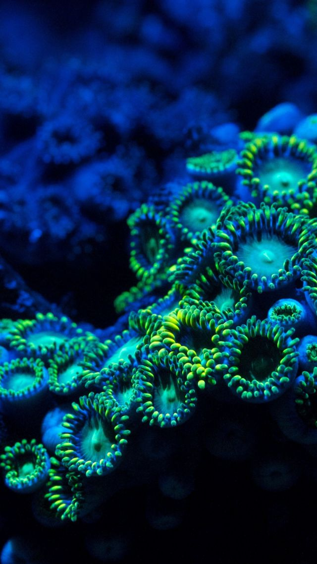 Wallpaper Coral 5k 4k Wallpaper 8k Zoanthids