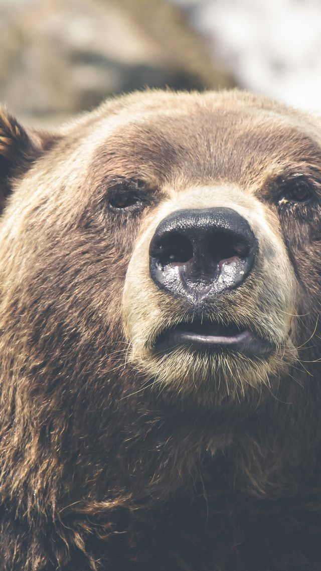 Brown bear, bear, cute animals, funny (vertical)