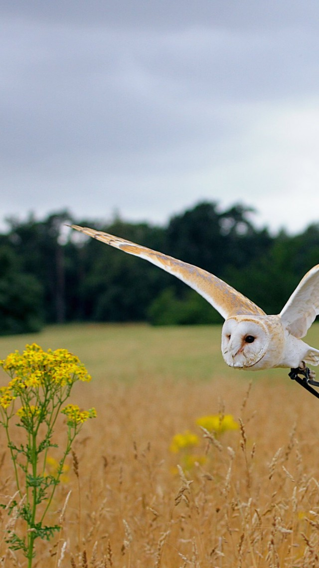 Owl, flight, meadows, cute animals (vertical)