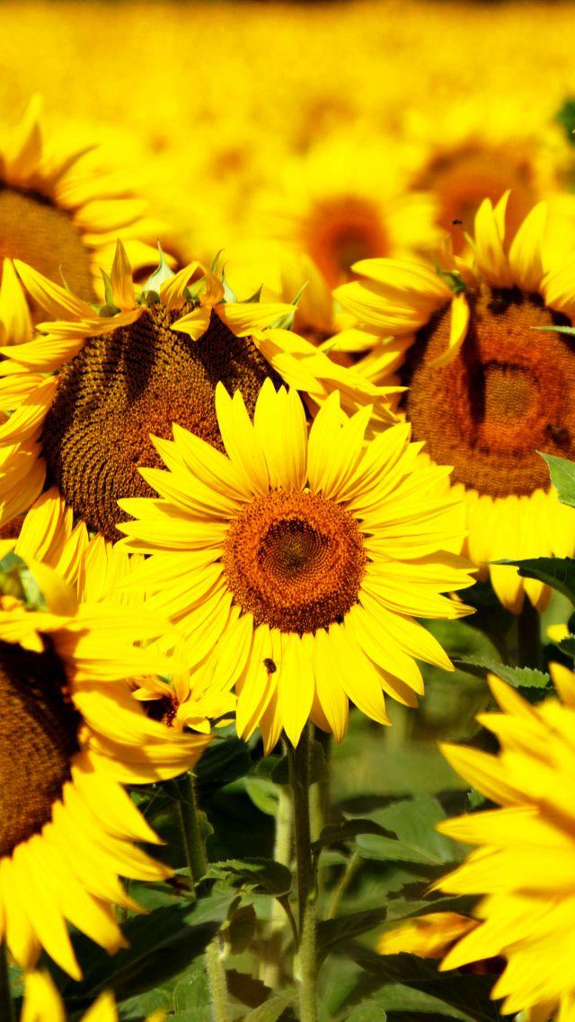 Wallpaper Sunflowers 5k 4k Wallpaper 8k Flowers Field