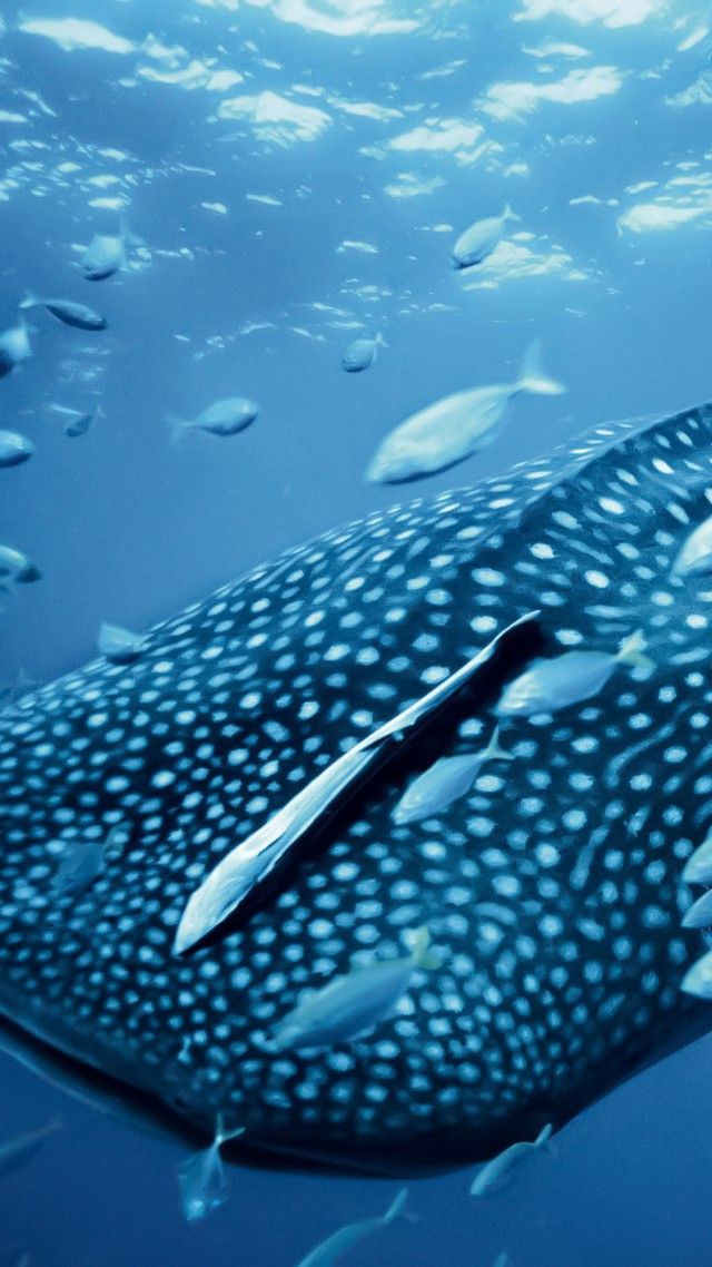 Whale shark, Palau, Philippines, diving, tourism, travel (vertical)