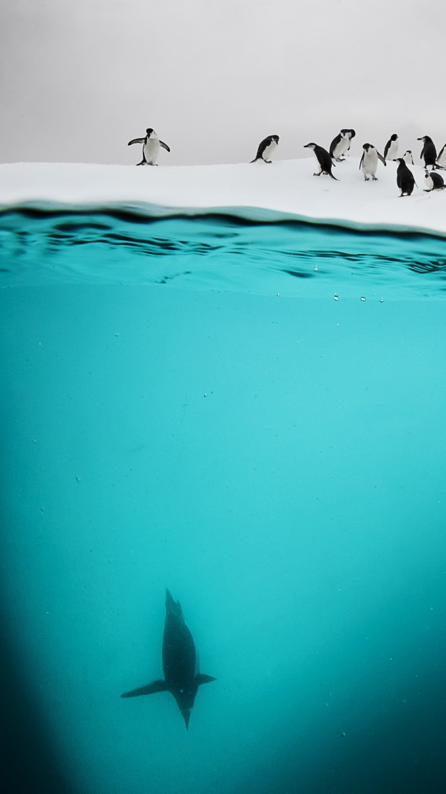 Penguin, New Zealand, underwater (vertical)