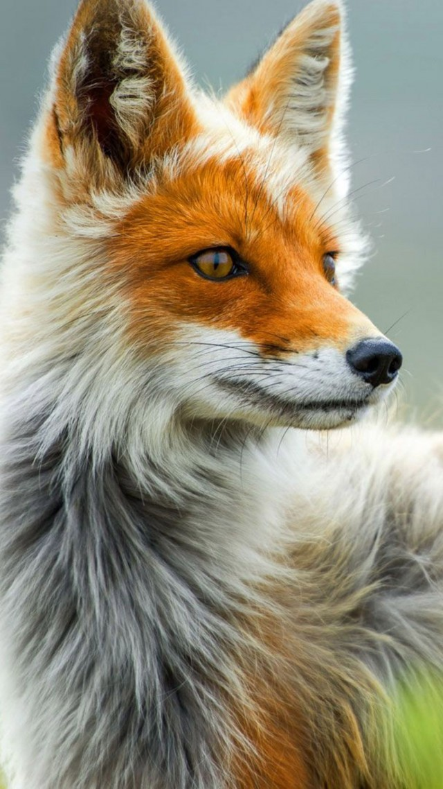 Wallpaper Fox Wild Gray Red Animals 607