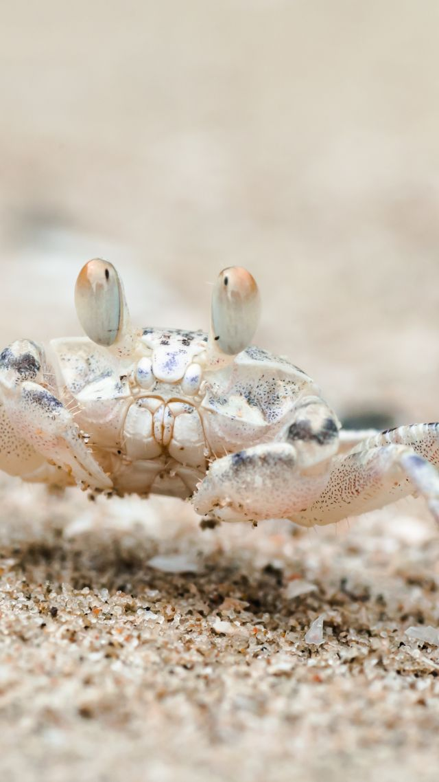 Sand bubbler crab, Khao Sam Roi Yot National Park, Thailand, travel, tourism (vertical)