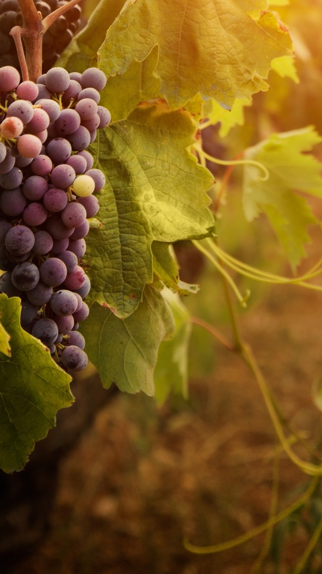 Wallpaper Red Grapes Leaves Bunch Food 821