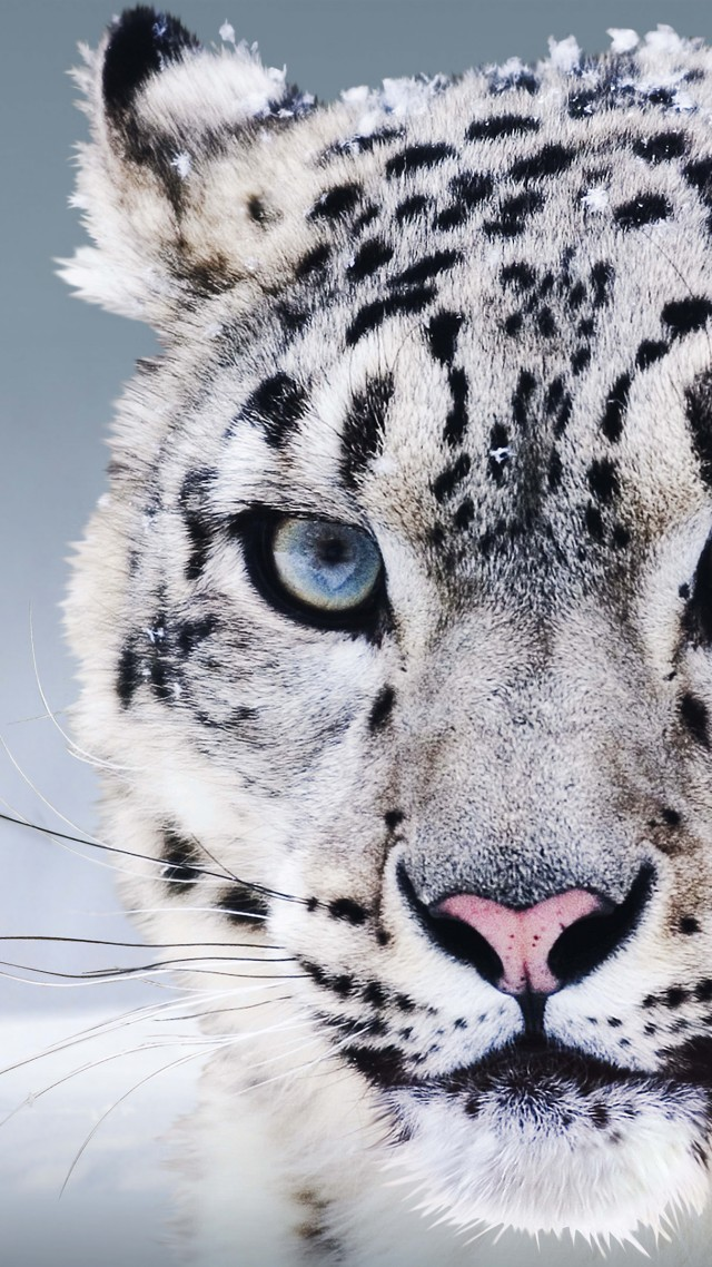 Wallpaper Snow Leopard China Blue Eyes Snow Animals 8257