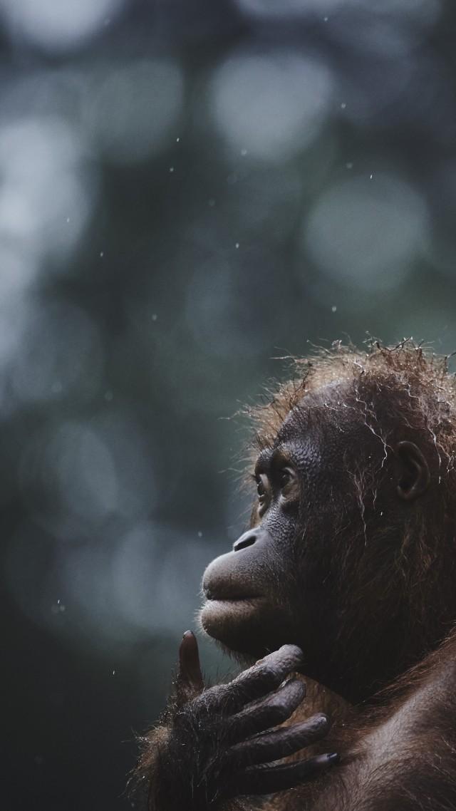 Wallpaper Orangutan Borneo Malaysia Wildlife National