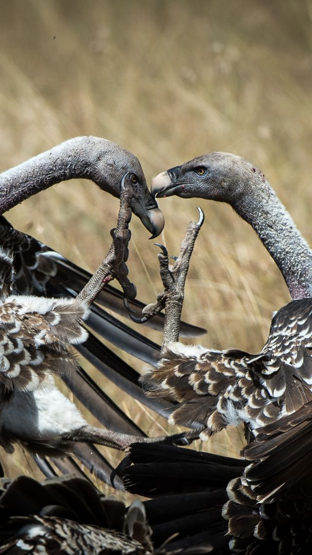 Wallpaper Vulture Masai Mara Kenya Bird National Geographic