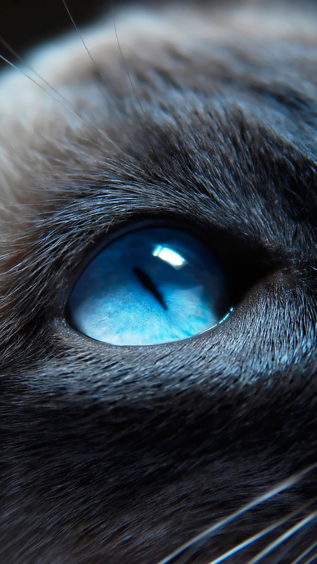 cat, kitty, siamese, blue eyes, muzzle, beautiful, close-up, portrat (vertical)