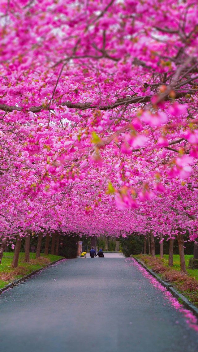 Wallpaper Trees 4k 5k Wallpaper Sakura Spring Nature 8972