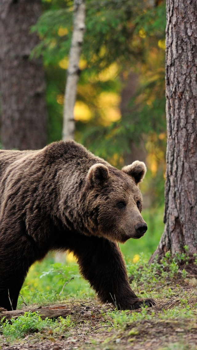 brown bear, bear, tread, step, walk, forest, trees, foliage, blur (vertical)