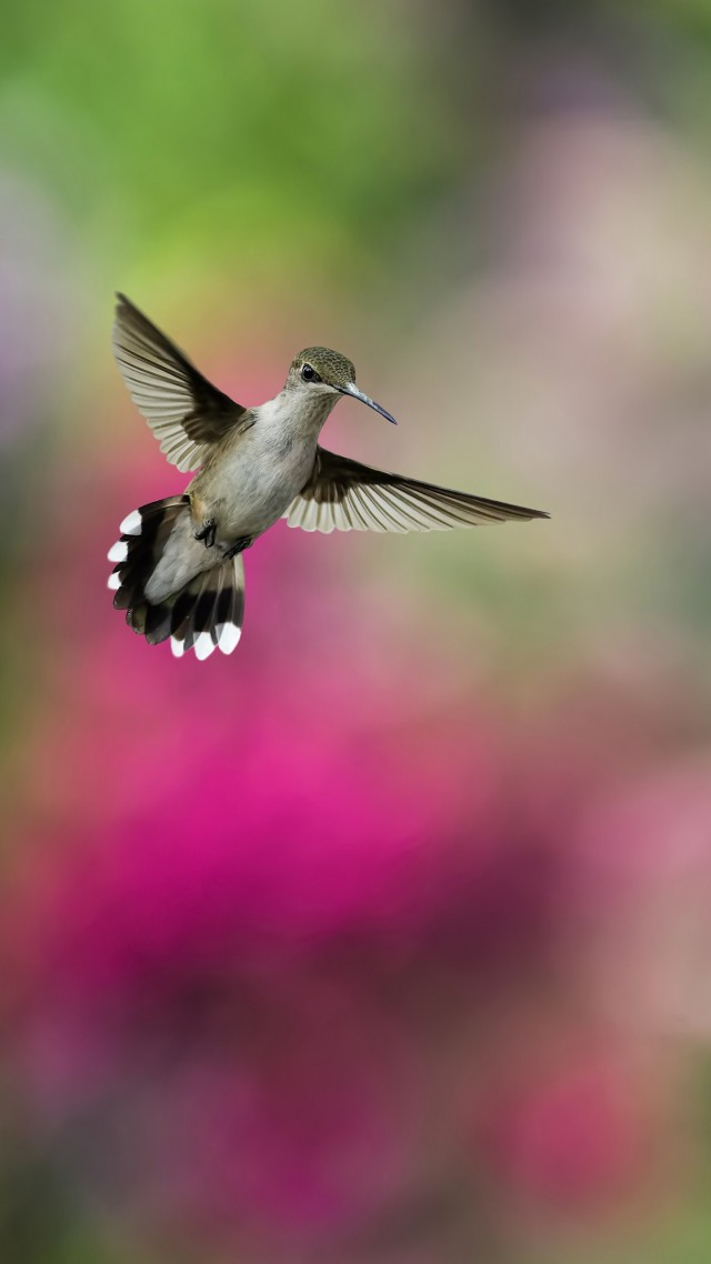 Bird, Hummingbird, humming-bird, colorful, blur (vertical)
