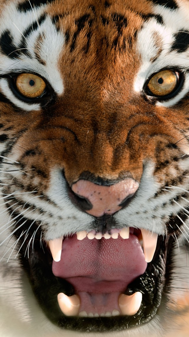 Wallpaper Tiger, Muzzle, Grin, Amur Tiger, Portrait