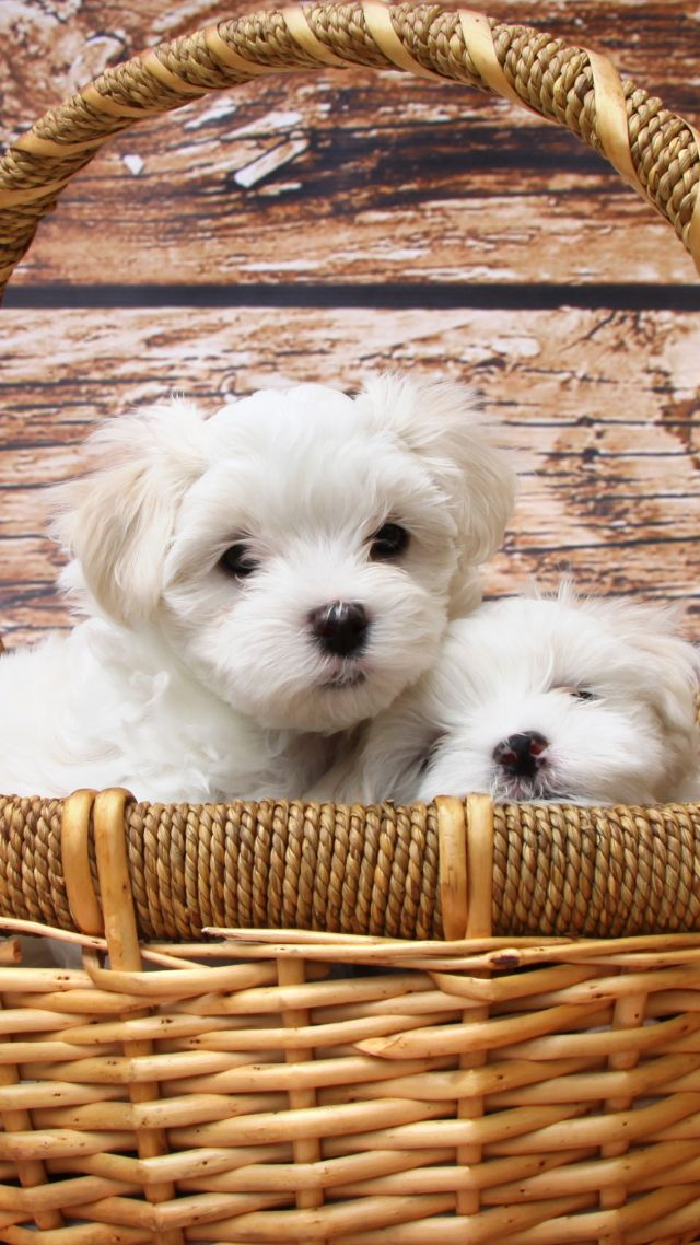 Maltese dogs, puppy, white, pet (vertical)