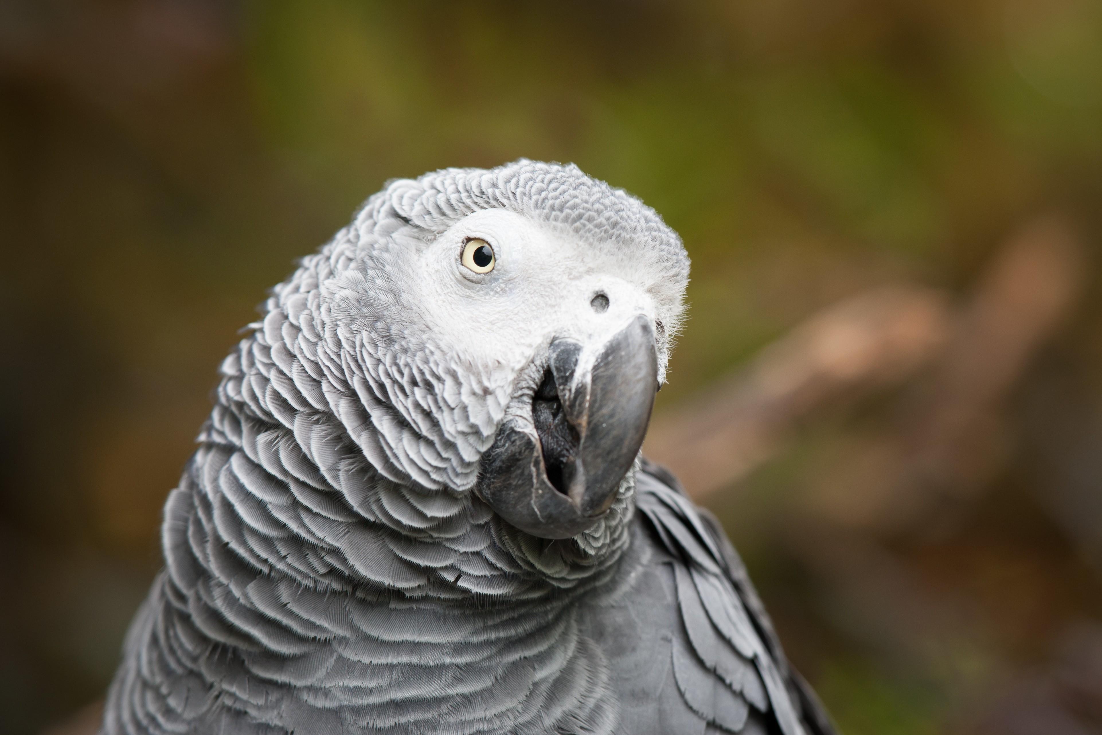 Wallpaper African Grey Parrot Cute Animals Funny Blur