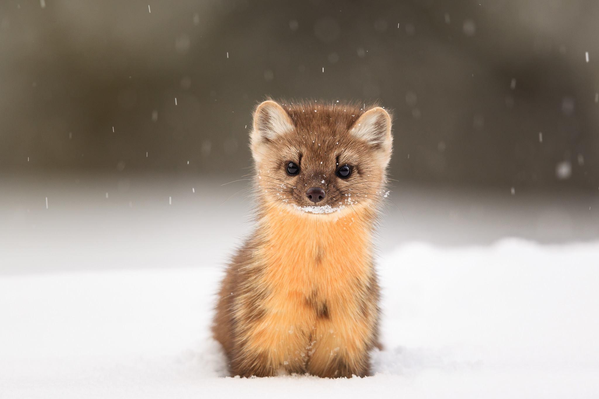 wallpaper american marten, snow, cute animals, hd, animals #15668