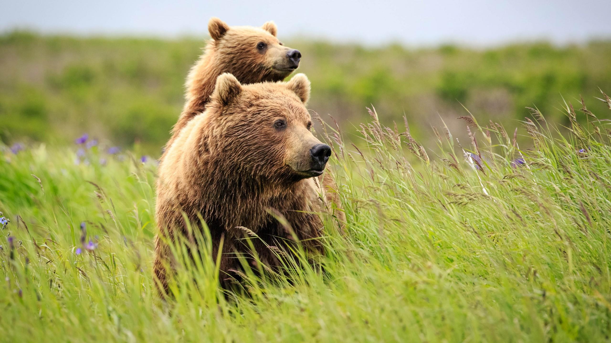 Wallpaper Bear Cute Animals Grass 4k 16105