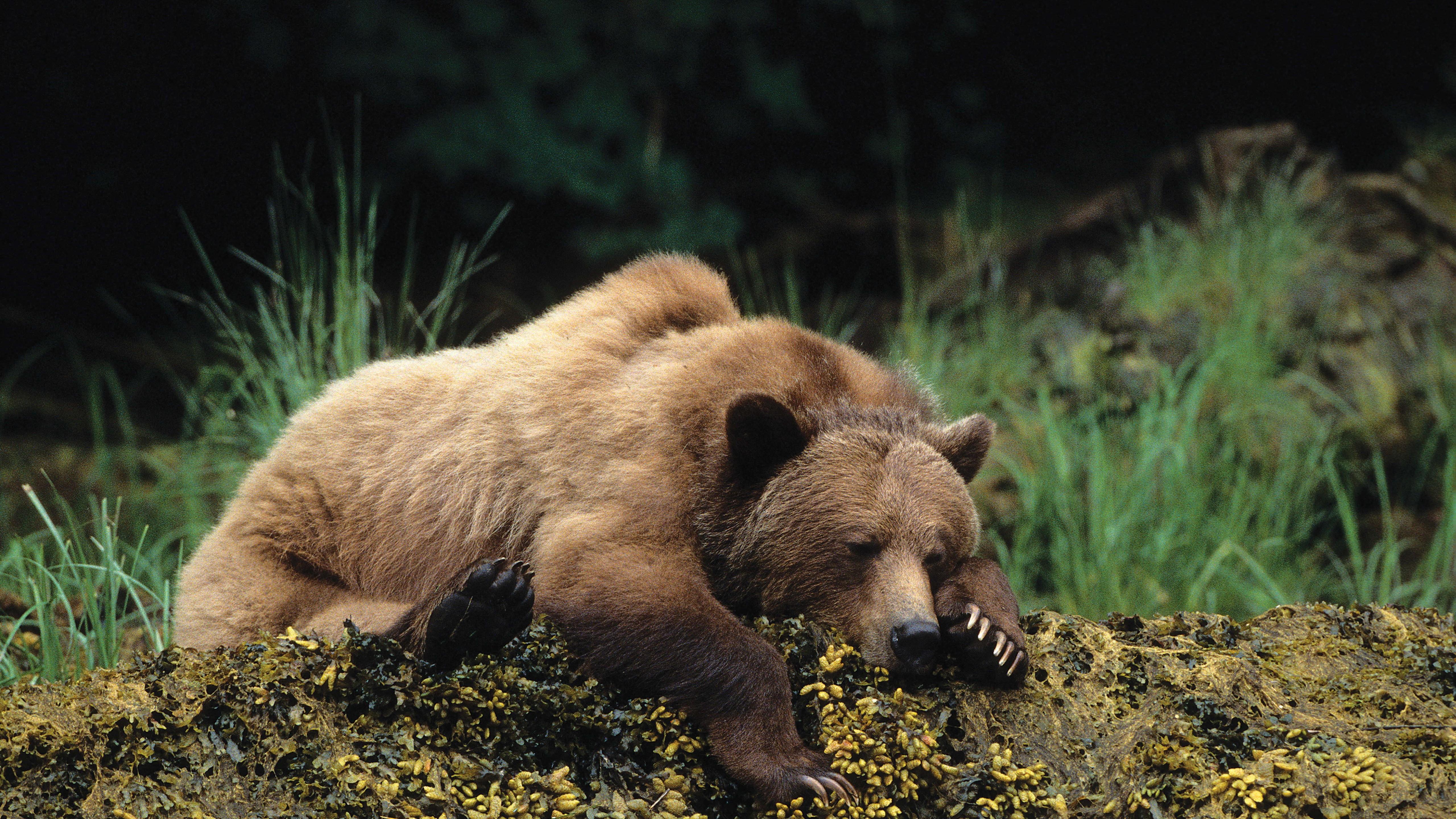 Wallpaper bear, cute animals, sleep, 4k, Animals #16106