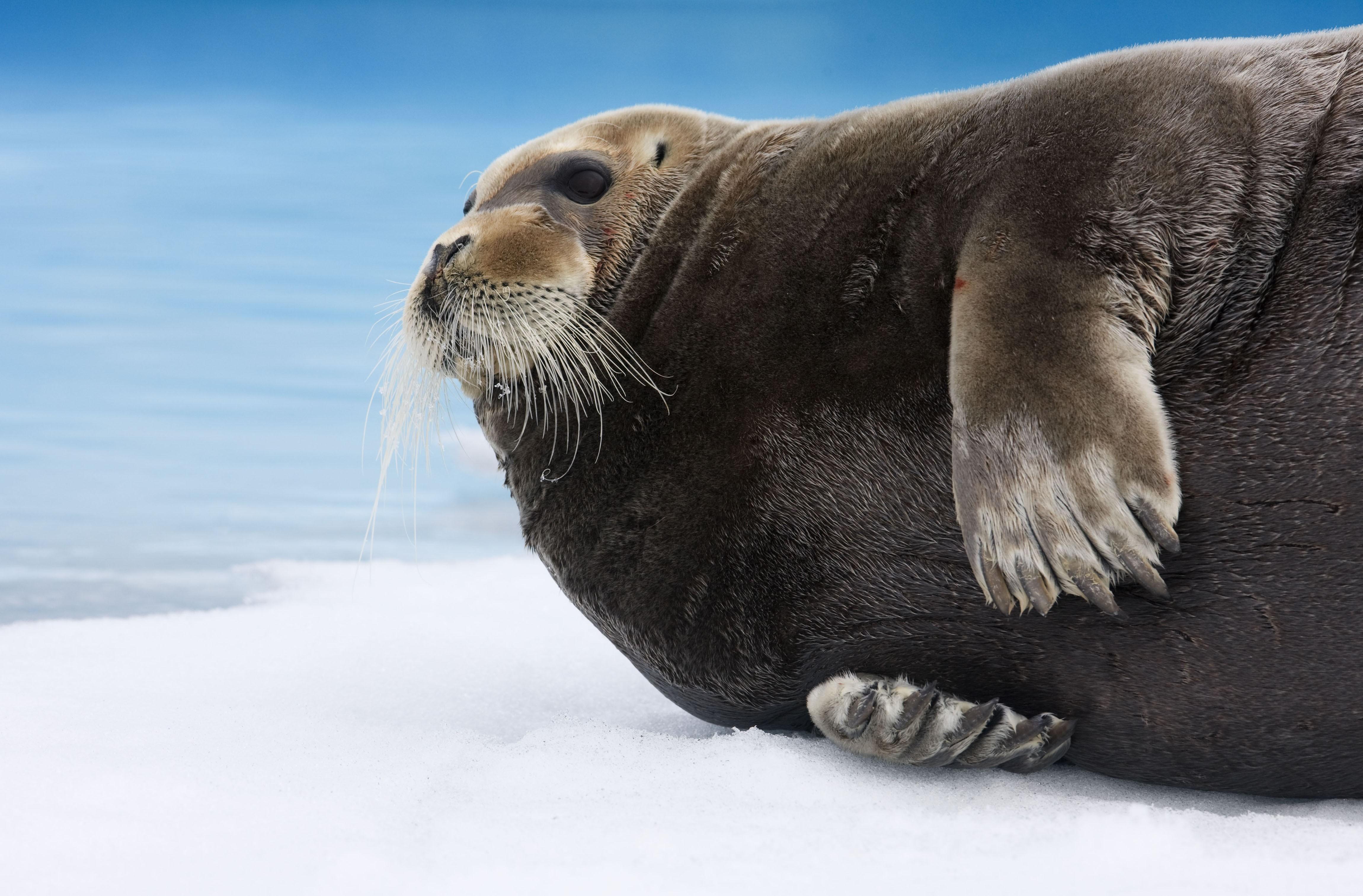wallpaper bearded seal arctic pacific ocean hudson bay