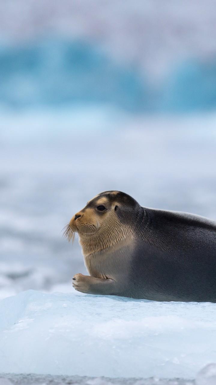 Wallpaper Bearded Seal, Arctic, Pacific, Ocean, Hudson Bay ...