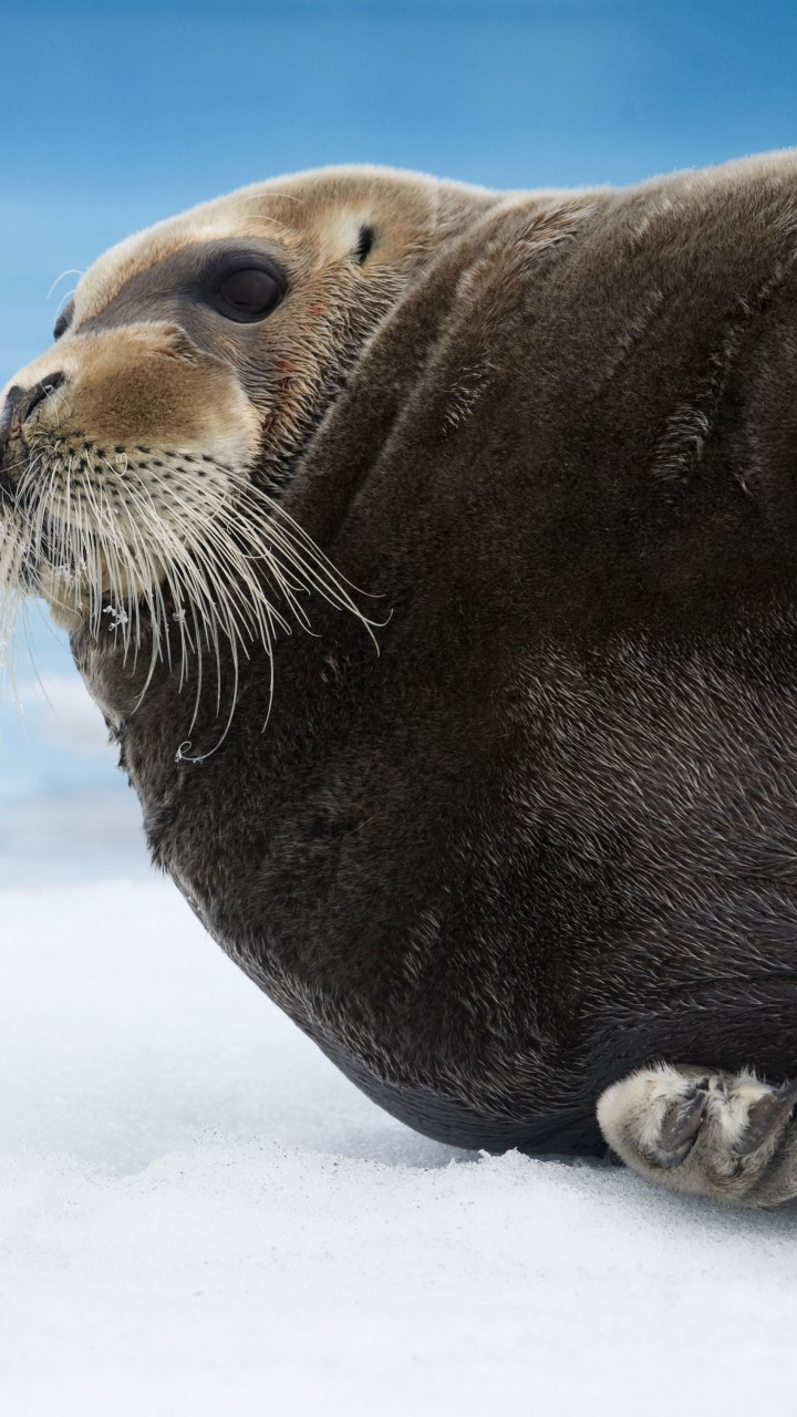 Wallpaper Bearded Seal Arctic Pacific Ocean Hudson Bay Ice Blue White Water Tourism