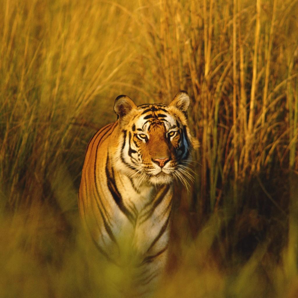 wallpaper bengal tiger national geographic tiger hunter