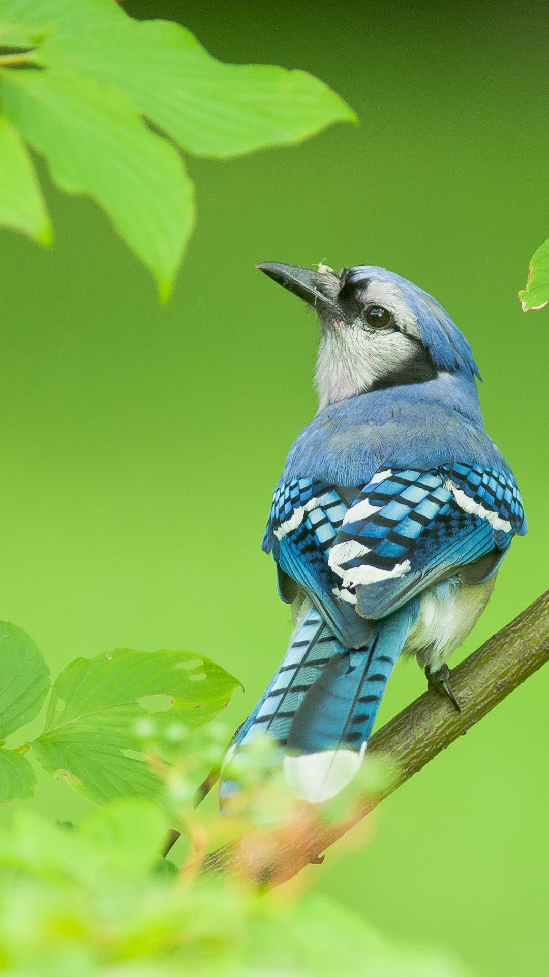 Wallpaper Blue Jay Bird 4k Animals 15000