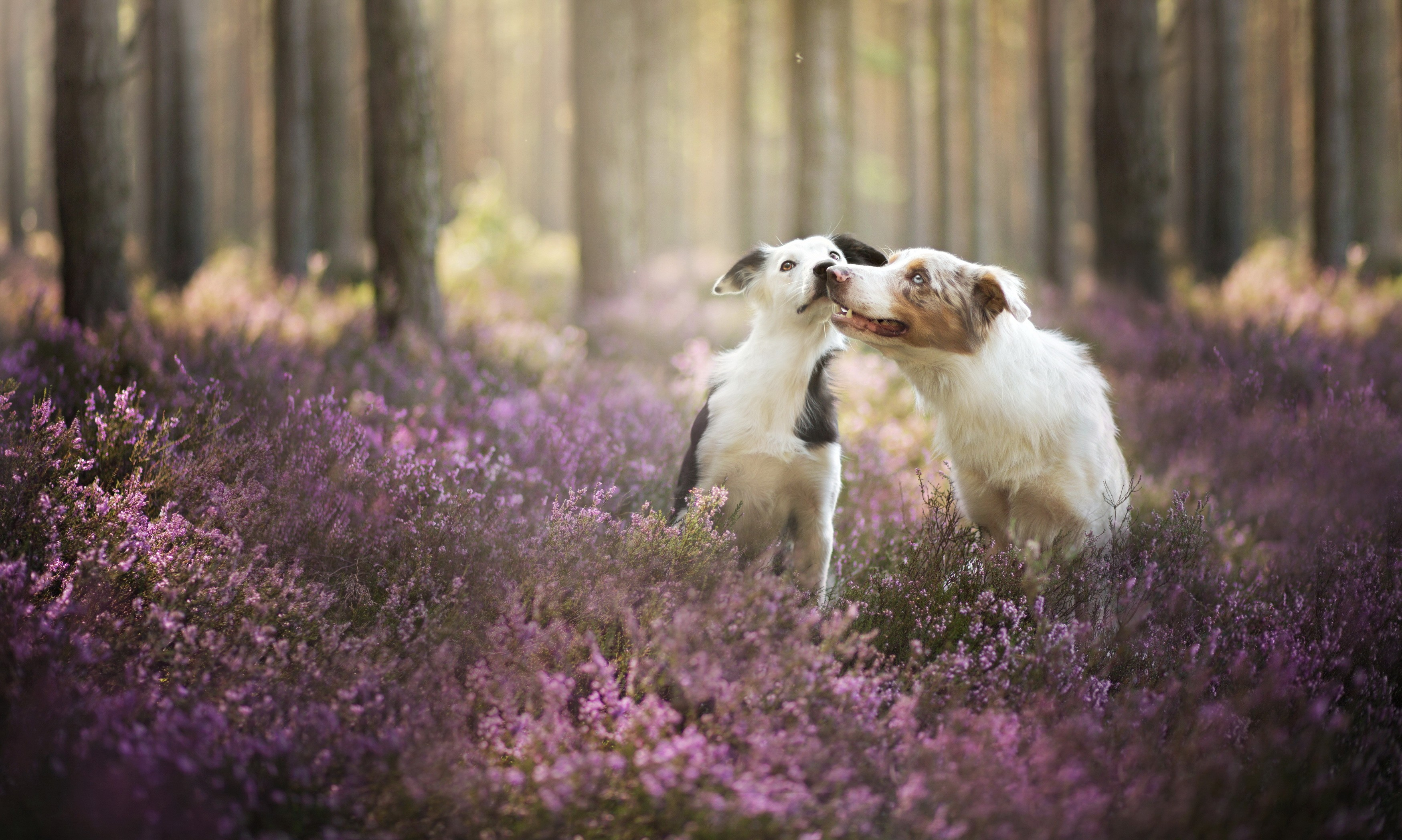 Wallpaper Border Collie Dog Field Cute Animals Funny