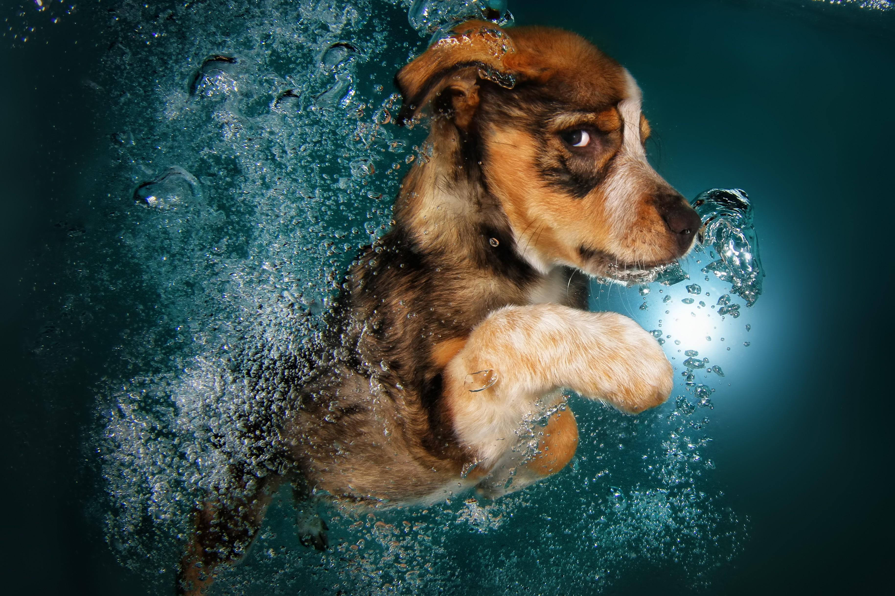 ... , Animals / Pets: Border Collie, dog, underwater, cute animals, funny