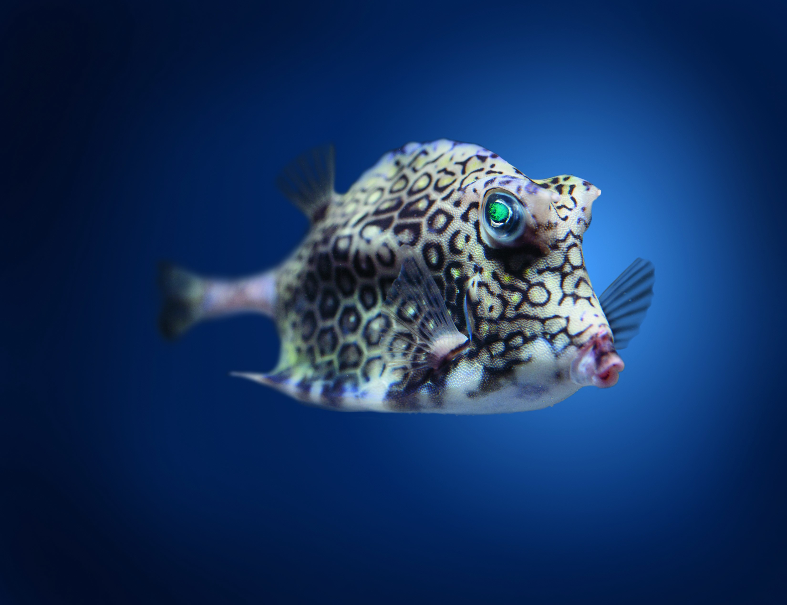 Wallpaper boxfish cowfish atlantic indian pacific ocean your resolution 1024x1024 sciox Choice Image