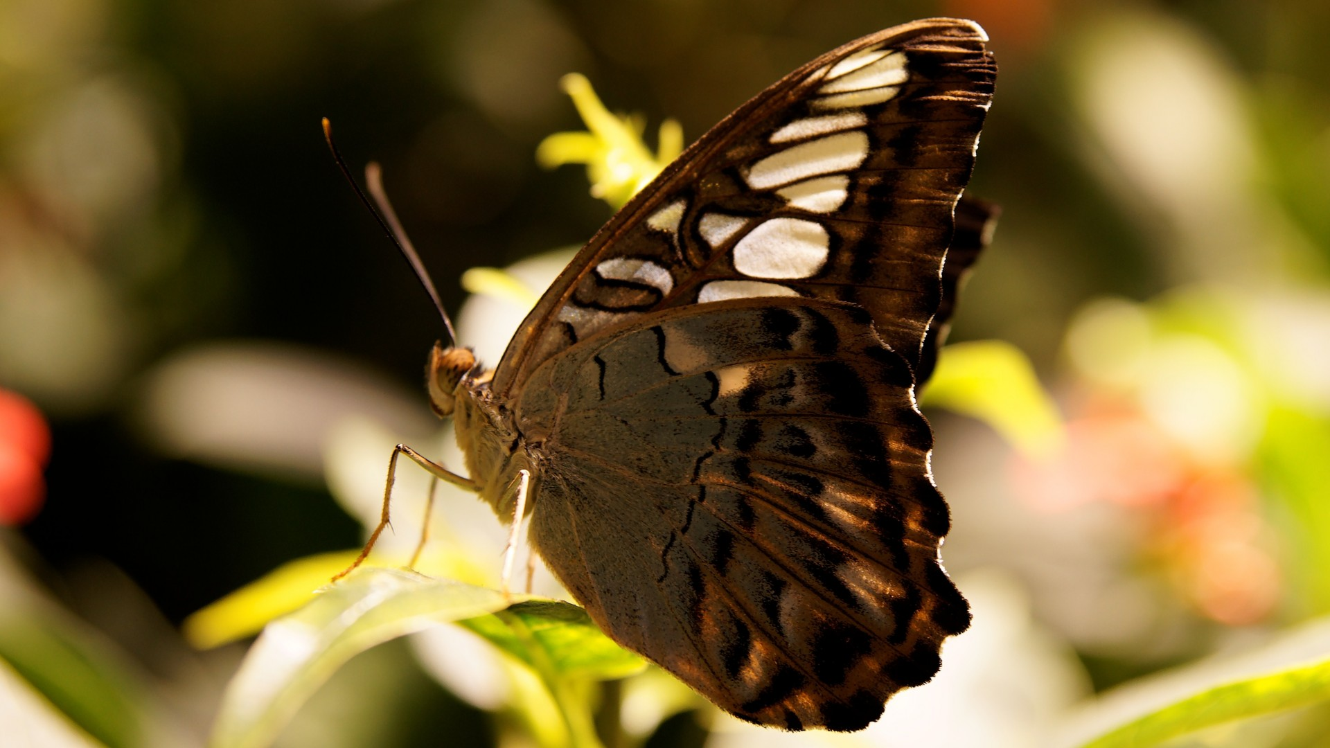 Wallpaper Butterfly Gray Flowers Nature Insects