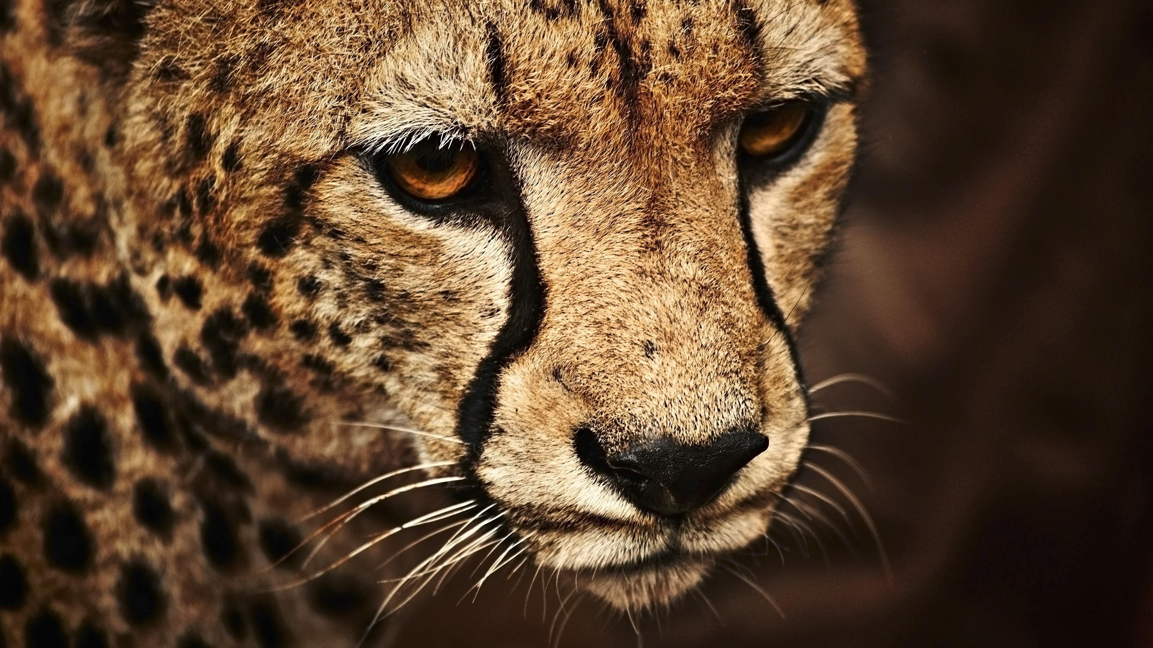 Wallpaper Cheetah Look Cute Animals Animals 5374