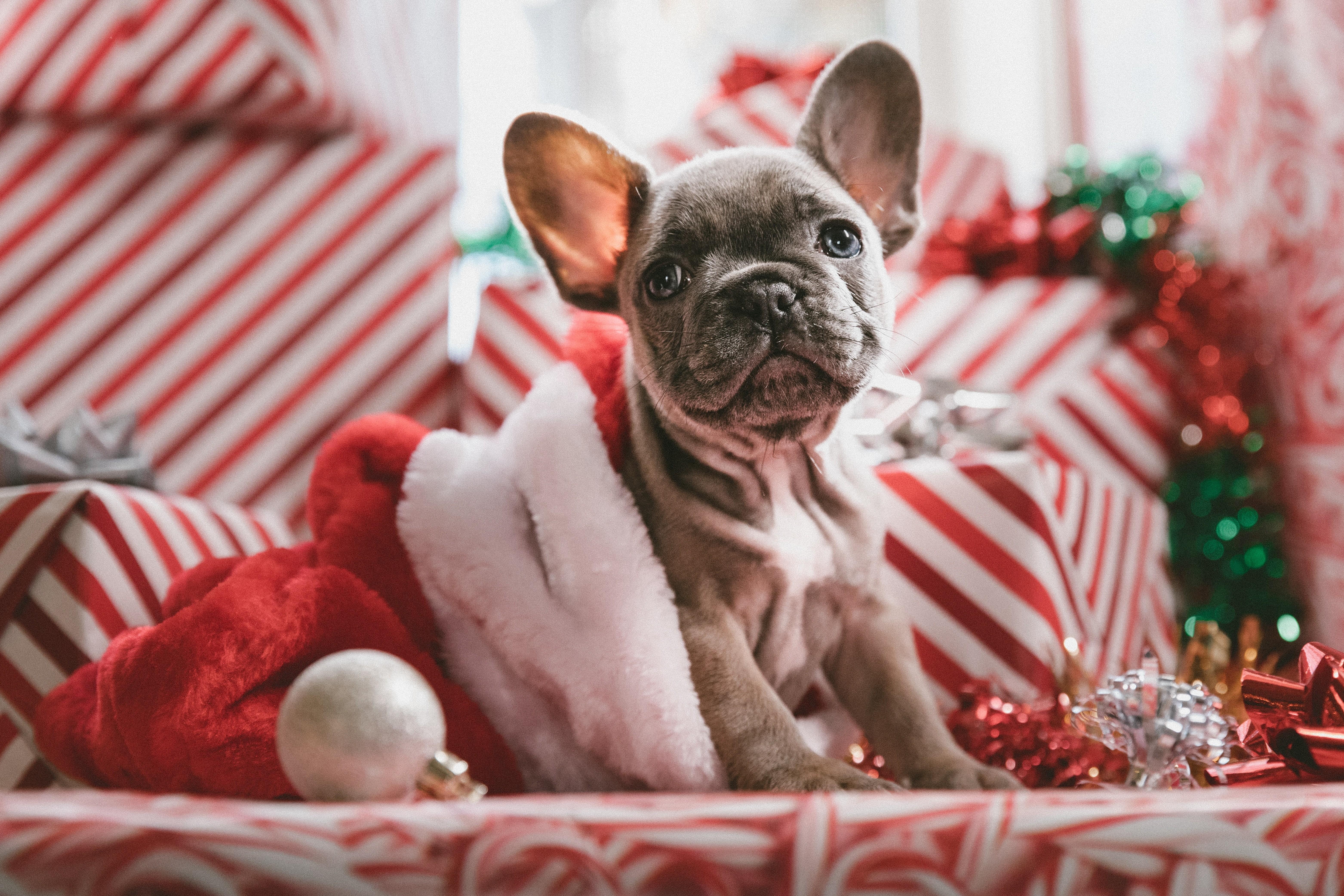 Wallpaper Christmas New Year Puppy Cute Animals 5k