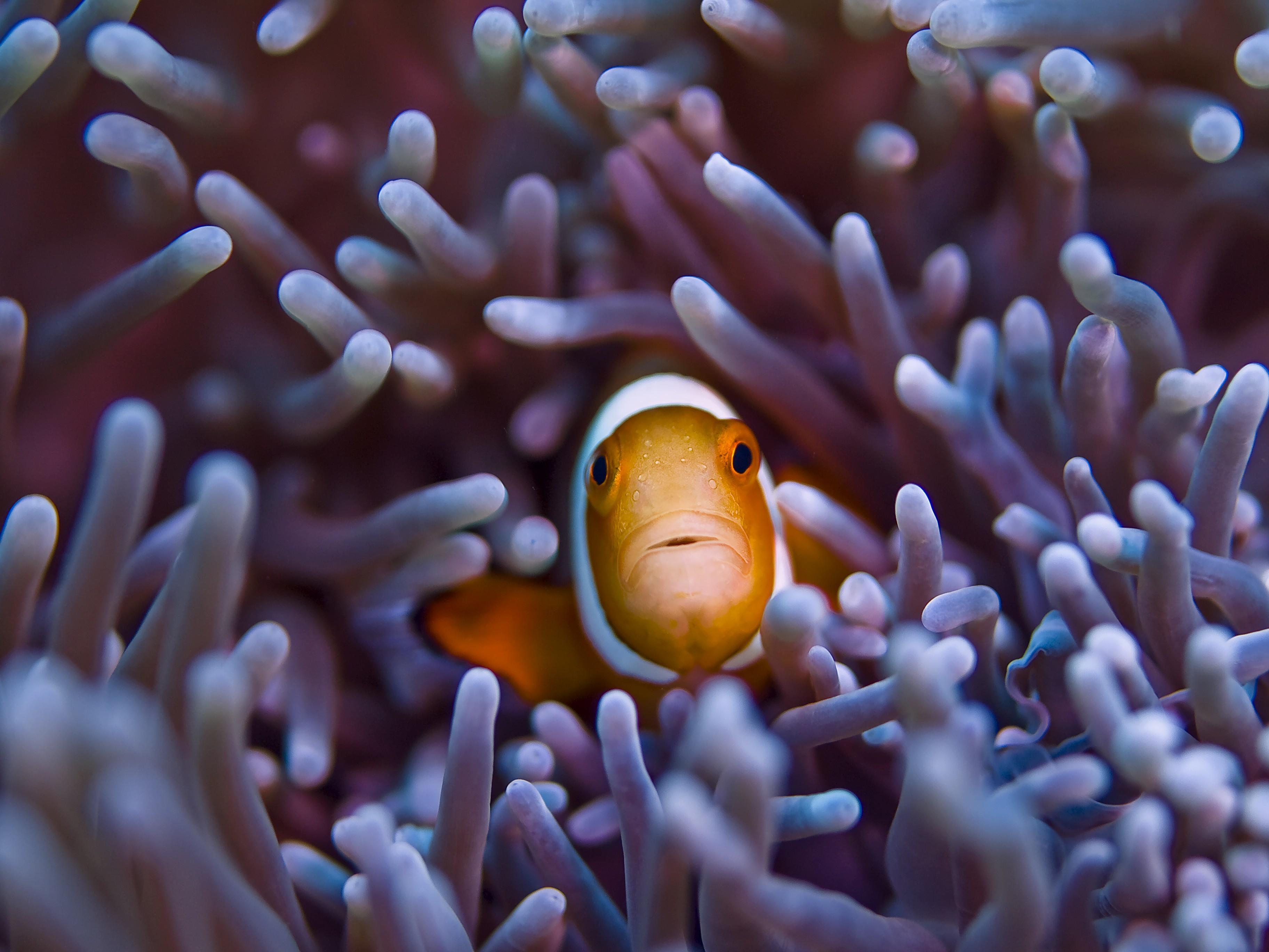 wallpaper clownfish, 5k, 4k wallpaper, gili, island, bali, indian