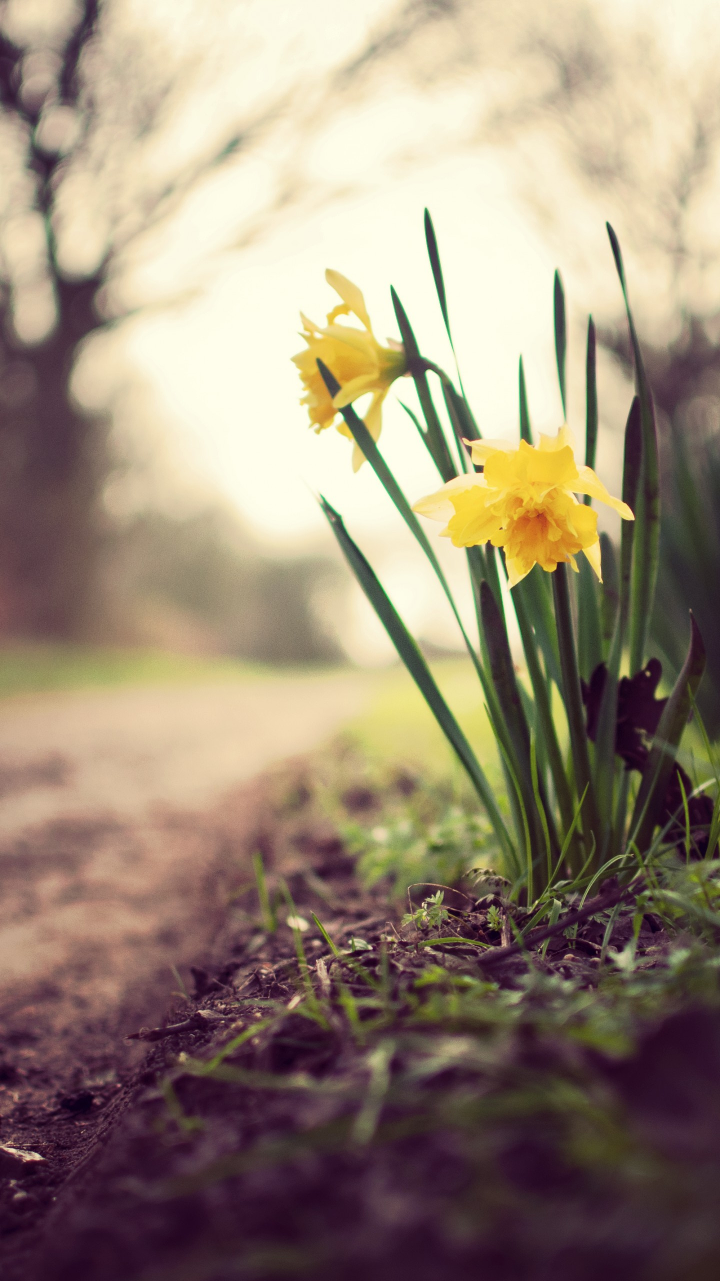 Wallpaper Daffodils 5k 4k Wallpaper Flowers Spring