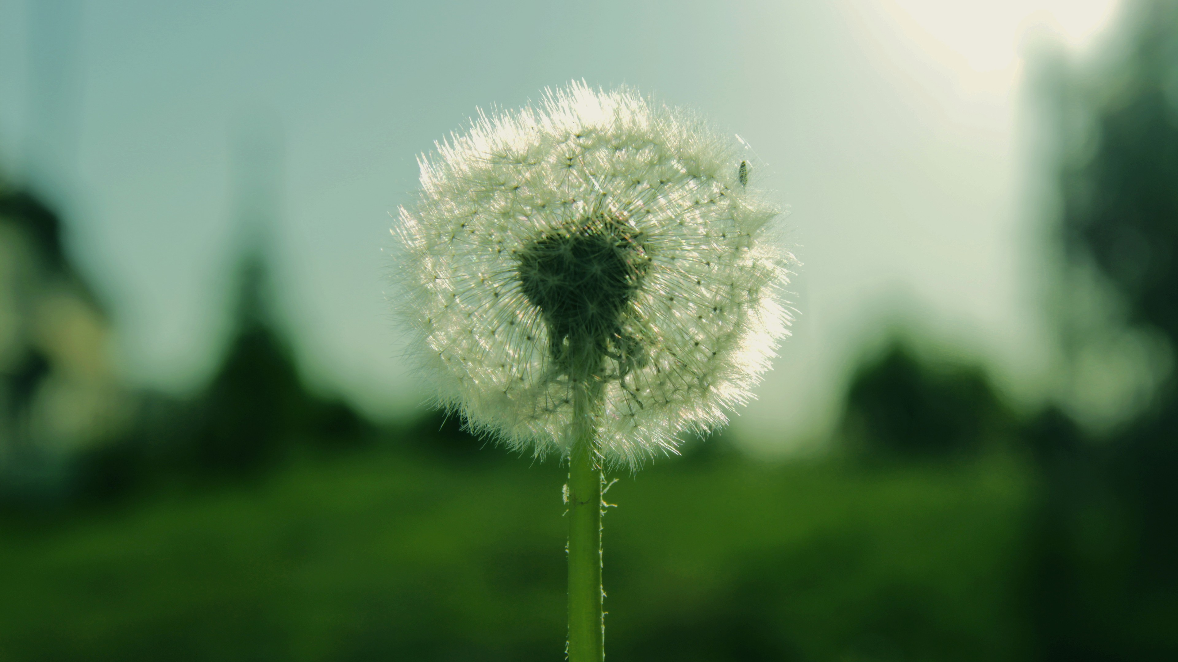 Wallpaper Dandelion 5k 4k wallpaper flowers macro