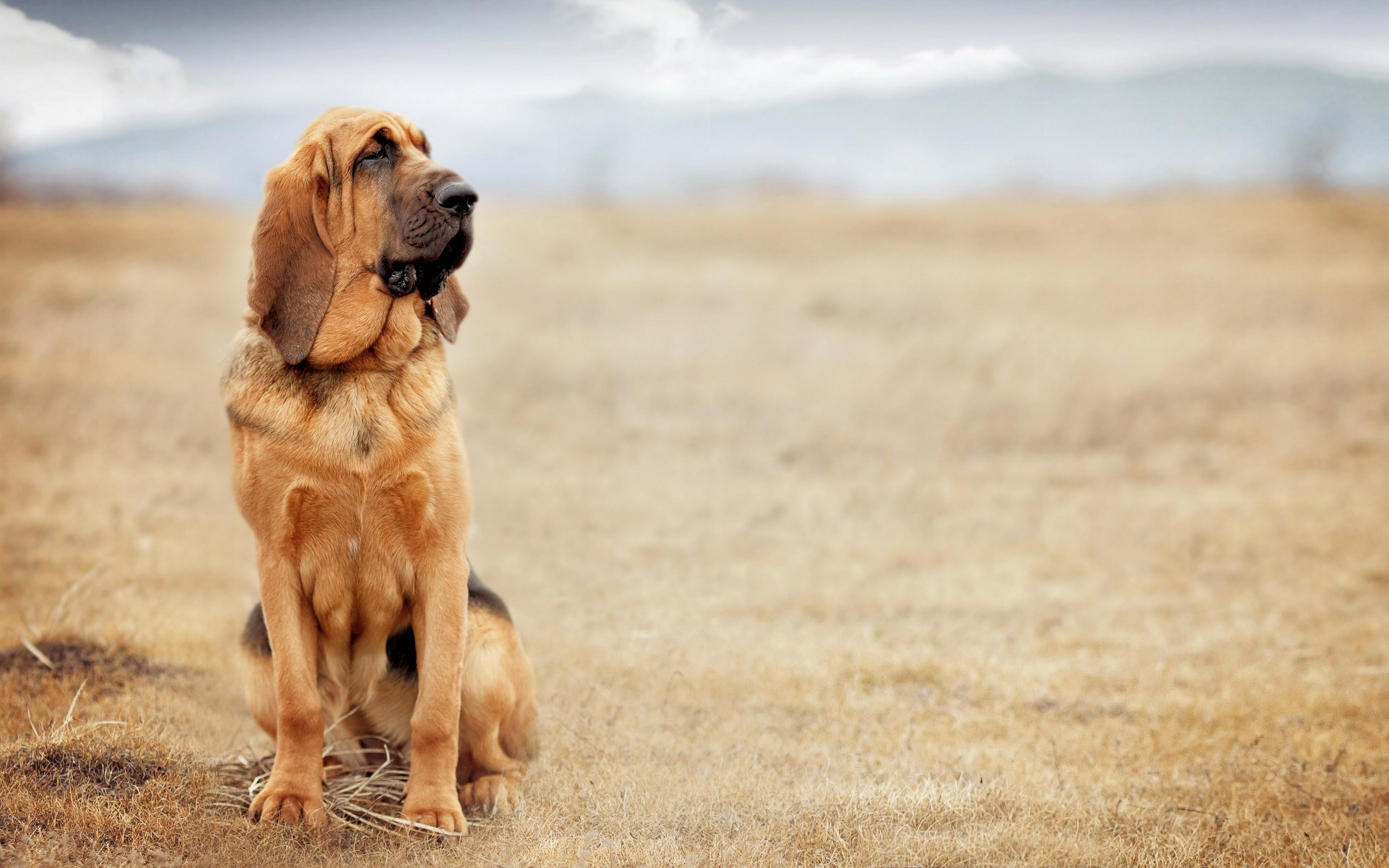 Wallpaper Dog Bloodhound 4k Animals 14943