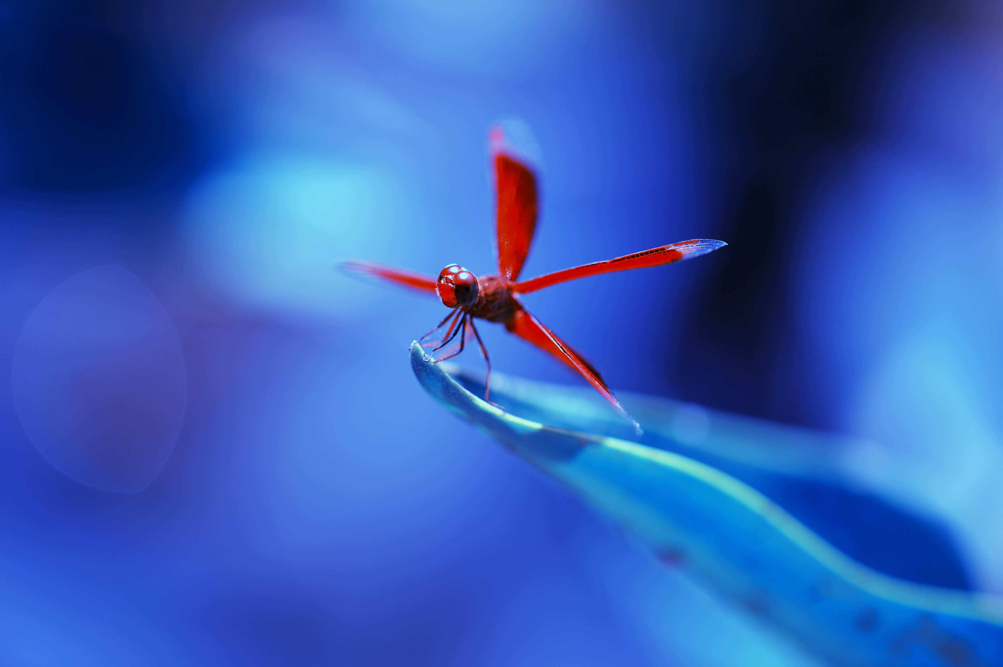 Eyes Of A Dragonfly Nature Dew Cute Macro Hd Wallpaper: Wallpaper Dragonfly, Insects, Blue, Animals #10333