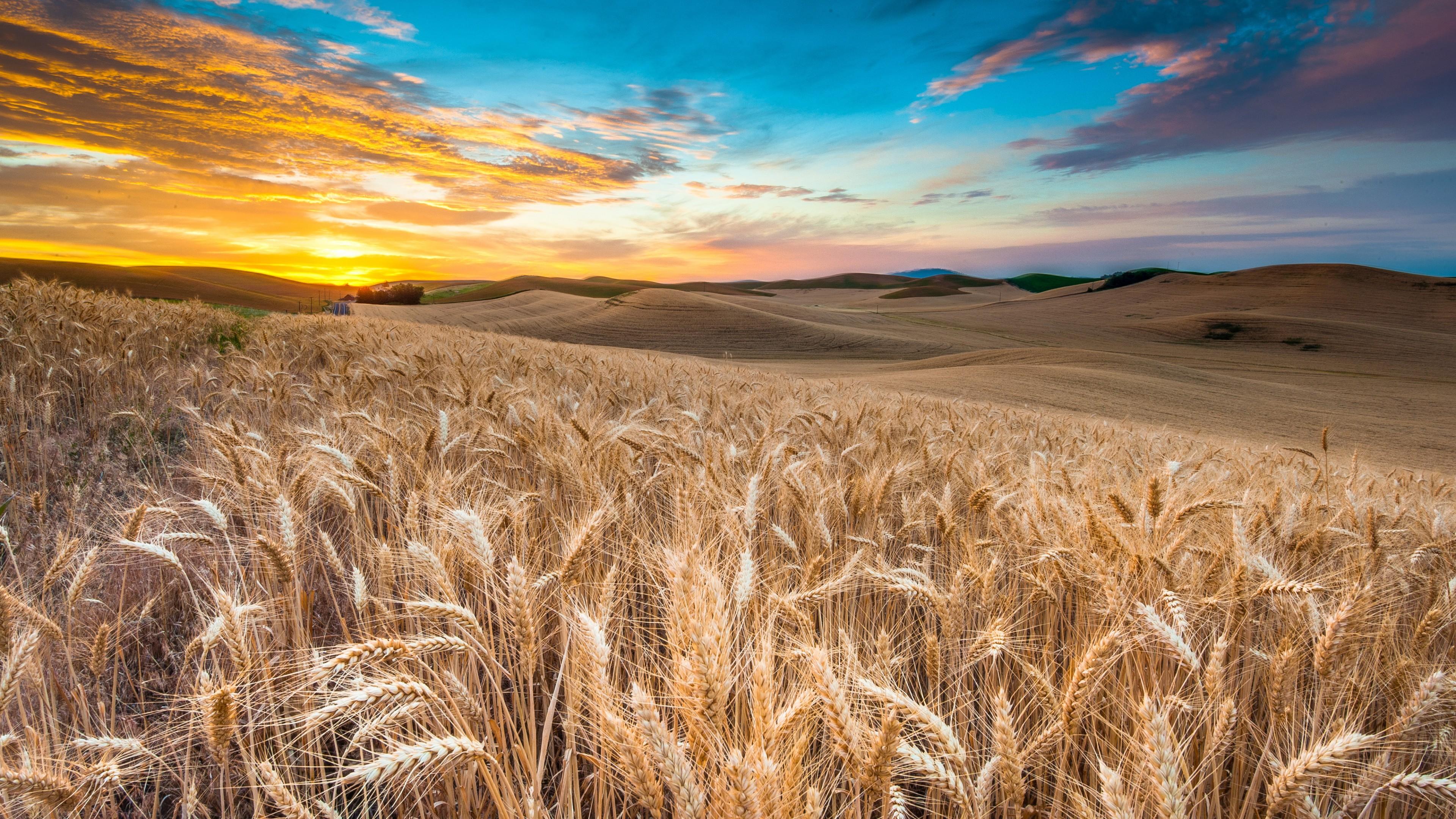 Wallpaper Field, 4k, HD wallpaper, wheat, spikes, sky ...