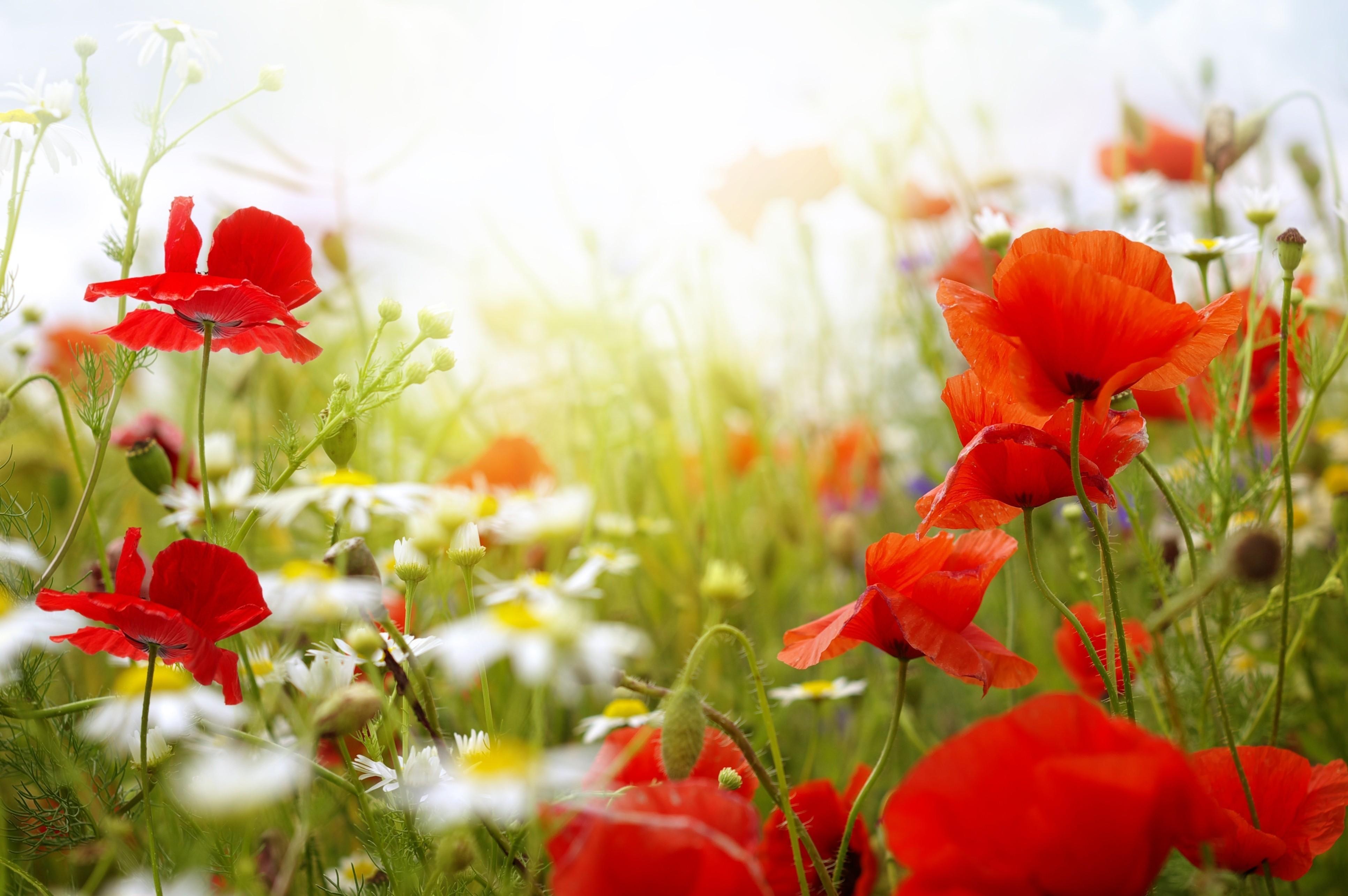 Wallpaper Field 4k Hd Wallpaper Chamomile Poppy Flowers Nature 5174