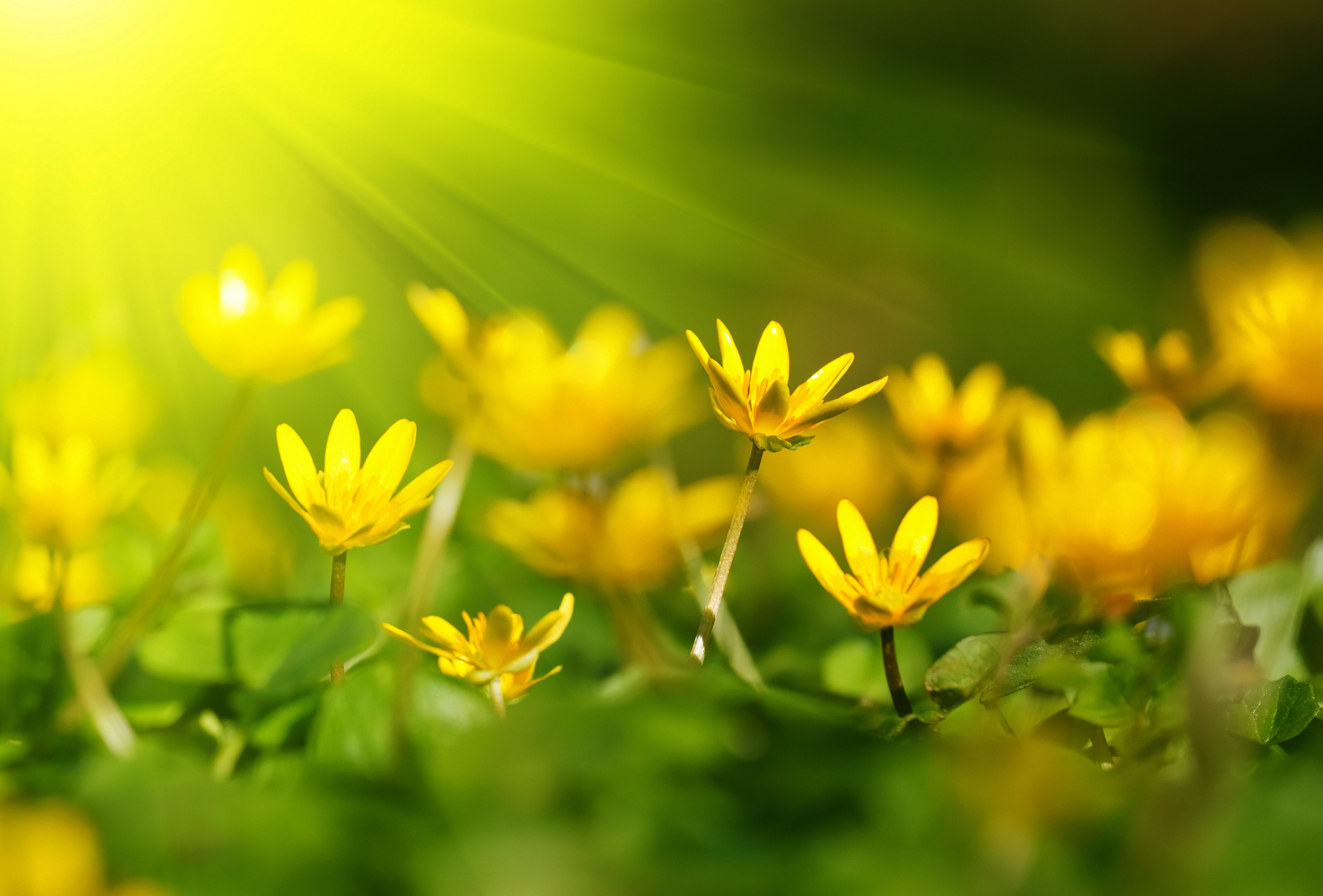 wallpaper flowers, 5k, 4k wallpaper, 8k, sunray, yellow, green grass