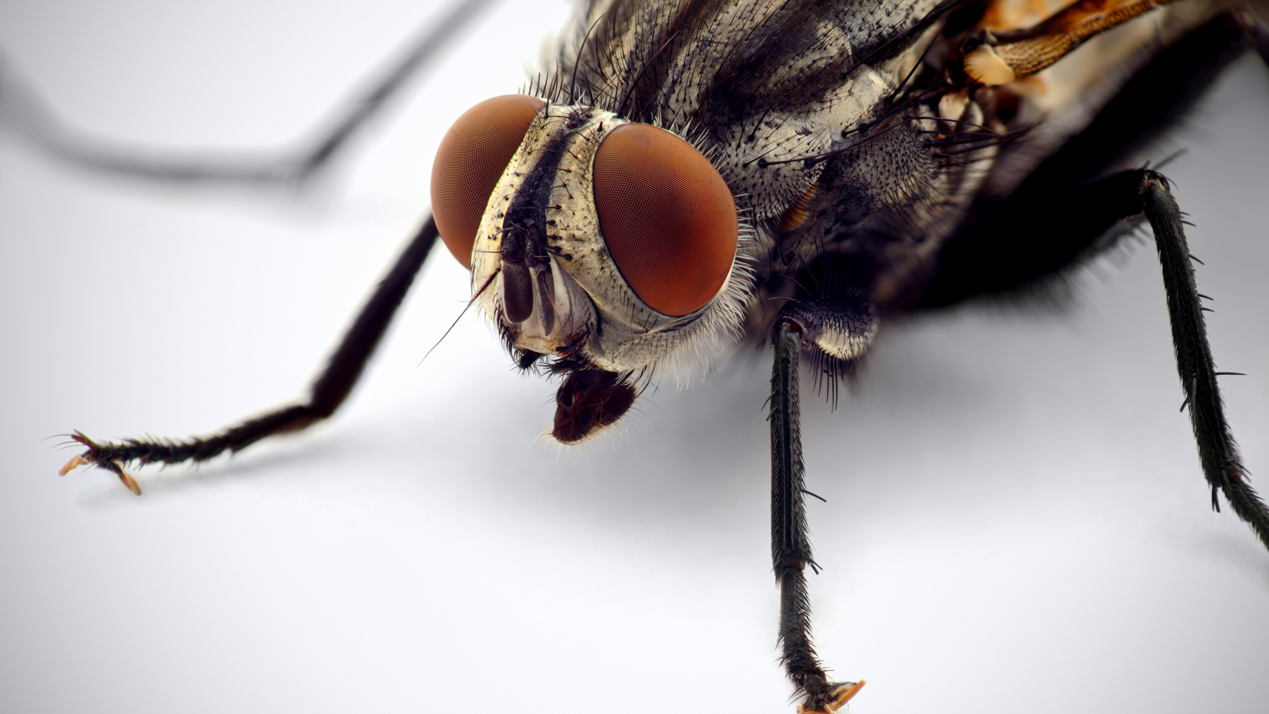 Wallpaper Fly Macro Eyes Insects White Background