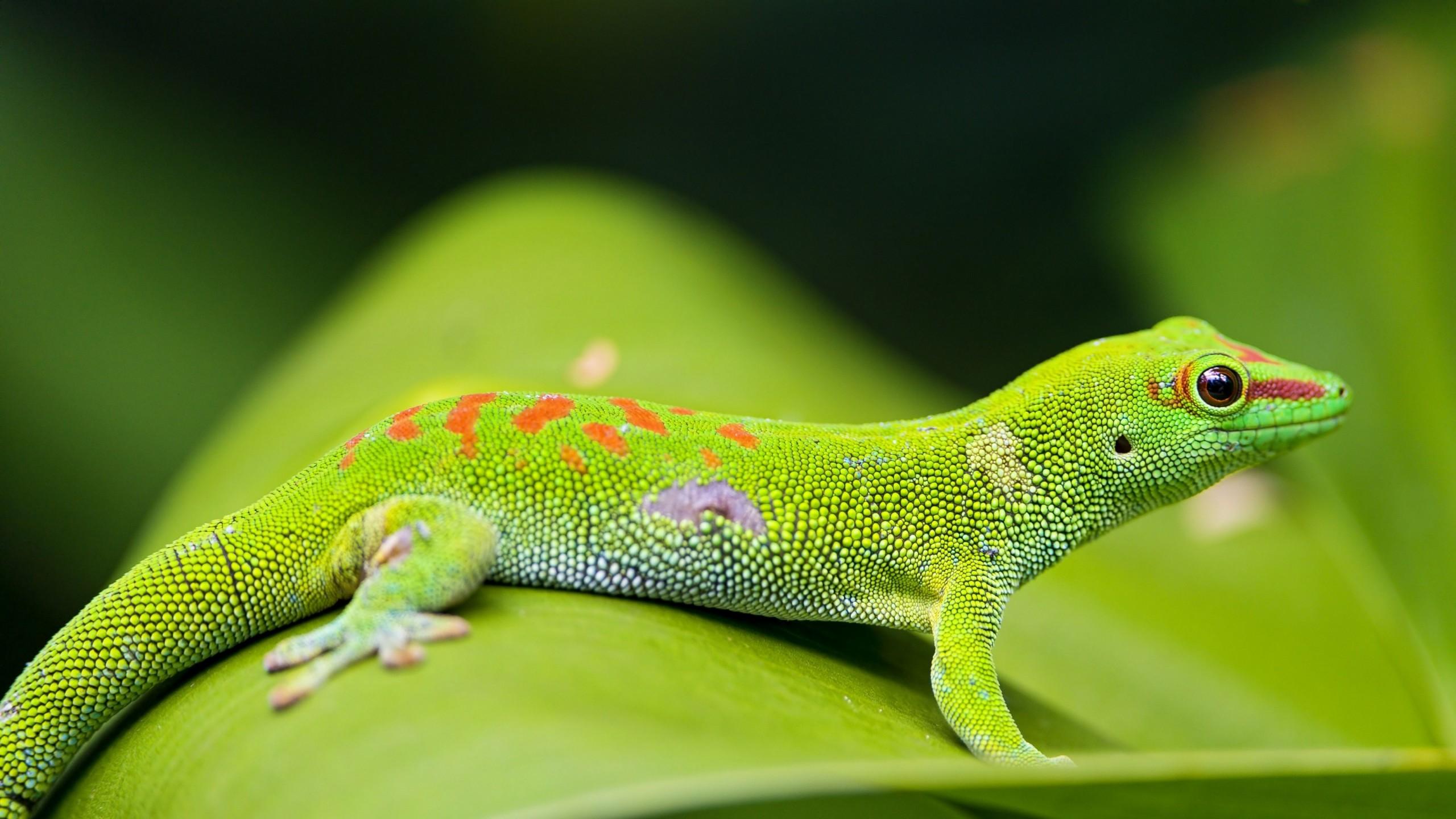 Wallpaper Gecko, reptile, green, 4k, Animals #15437