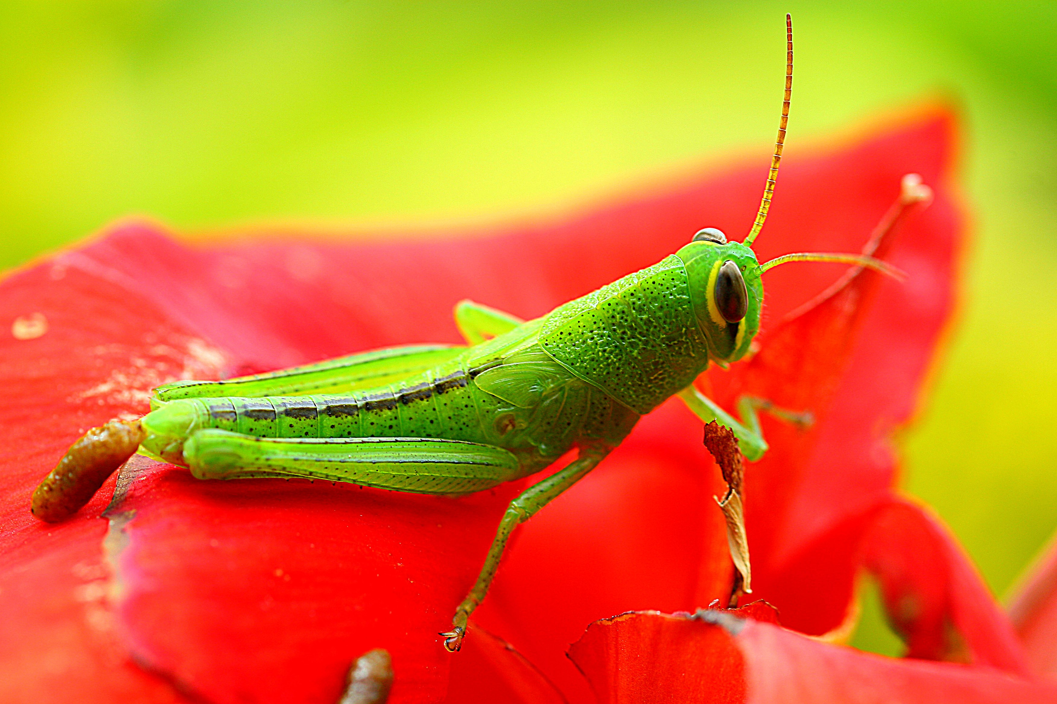wallpaper grasshopper  grig  green  flower  red  insects
