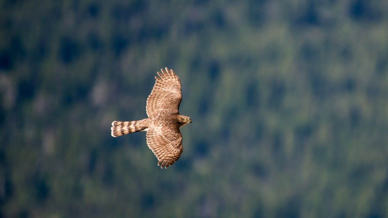Wallpaper Hawk Flight Air Photography Animals 4678
