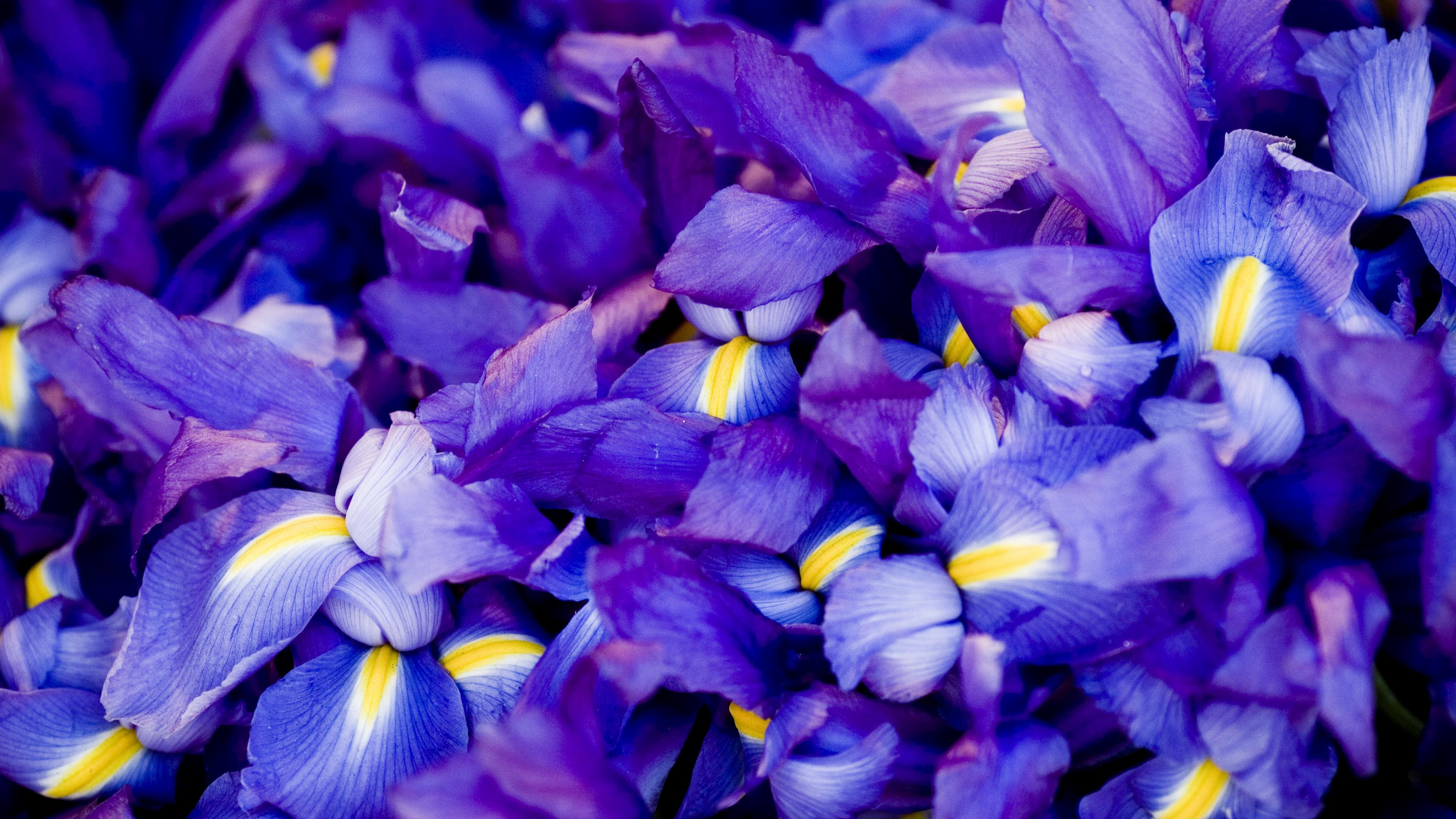 Wallpaper Iris 5k 4k Wallpaper Macro Flowers Purple